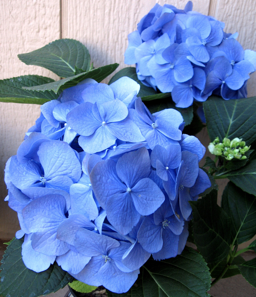 how to prolong the life of hydrangea cut flowers, Beautiful flower